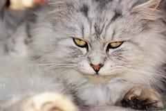 3 kotów biel Obrazy Stock