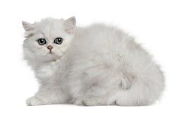 3 kota miesiąc stary perski obsiadanie Zdjęcia Stock