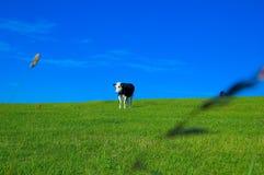 3 krów pole Obrazy Royalty Free
