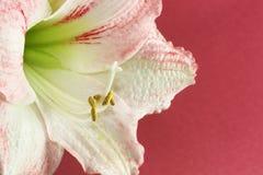 3 kwiat okwitnięć Zdjęcia Royalty Free