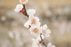3 kwiaty czereśniowego Zdjęcie Royalty Free