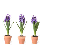 3 lampadine del giacinto che germogliano in POT di argilla Immagini Stock Libere da Diritti