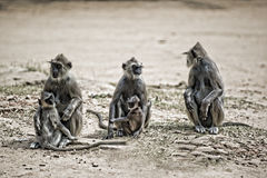 3 langurs with babies. Three purple faced leaf monkeys with 2 babies sitting in a row Royalty Free Stock Image