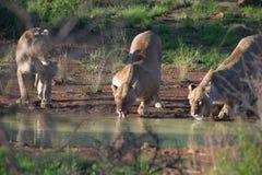 3 leeuwinnen bij waterhole Stock Fotografie