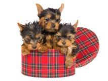 3 leuke Yorkies binnen ronde geruite Schotse wollen stofdoos Royalty-vrije Stock Afbeeldingen