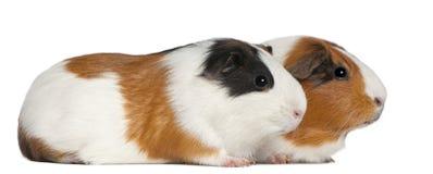 3 liggande gammala pigsår för guinea Arkivbilder