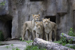 3 lionesses in a zoo. Standing close together Royalty Free Stock Photo