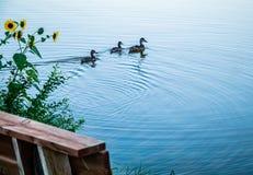 Free 3 Little Ducks Swimming In A Colorado Lake Stock Image - 158500621