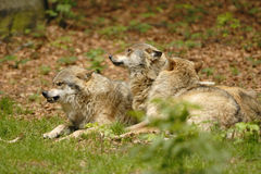 3 lobos Fotografía de archivo libre de regalías