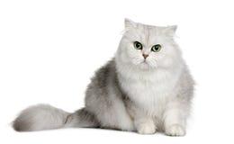 3 longhair gammala år för brittisk katt Arkivbilder