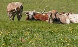 3 longhorns Arkivfoton
