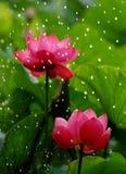 3 lotusblommar Arkivfoto