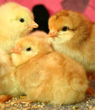 3 Lovely little easter chicks Royalty Free Stock Photography