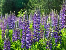 3 lupines Fotografia Royalty Free