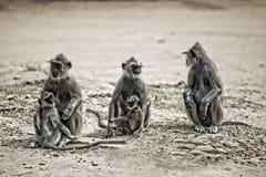 3 macacos com bebês imagem de stock royalty free