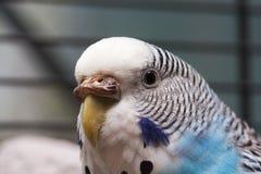 3 macro australijska błękitny papuga obraz stock
