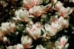 3 magnolia Zdjęcia Royalty Free