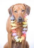 3 male gammala rhodesian ridgebackår för hund Royaltyfri Fotografi