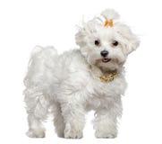 3 maltese gammala plattform år för hund Royaltyfria Foton