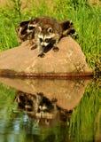 3 mapaches con reflexiones del agua Fotografía de archivo