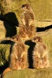 3 meerkats смотря в таком же направлении Стоковое Изображение RF