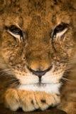 3 meses de filhote de leão velho Foto de Stock Royalty Free