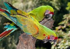 3 Military Macaws stock images