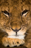 3 mois d'animal de lion Photo libre de droits