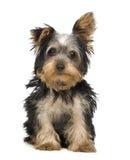 3 mois de chien terrier Yorkshire Image stock