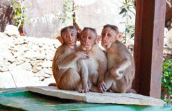 3 Monkeys on Brown Wooden Palette Royalty Free Stock Images