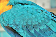 3 Months Blue and Yellow Macaw,Beautiful color feathers. Stock Photos