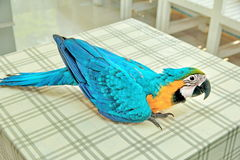 3 Months Blue and Yellow Macaw lovely bright children`s emotions. 3 Months male blue and yellow macaw parrot in house.  Bird sitting on a dining table legs and Royalty Free Stock Photo