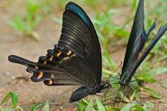 3 motyli maackii papilio Fotografia Royalty Free