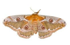 3 motyliego saturnidae Zdjęcie Stock
