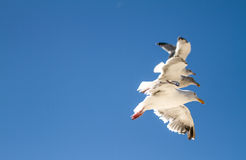 3 mouettes volantes Photographie stock libre de droits