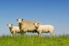 3 moutons image stock