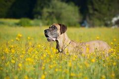 3 niemiec mastif fotografia stock