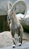 3 nubian的高地山羊 免版税库存照片