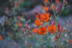 3 Orange Flowers in Selective Focus Photography Stock Images