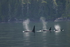 3 orcas in a row Royalty Free Stock Images
