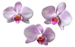 3 Orchid. Isolated on white Stock Photos