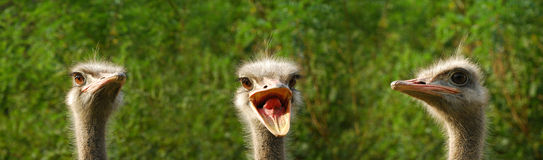 3 Ostriches Royalty Free Stock Photo