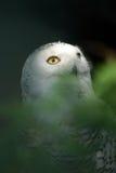 3 owl snowy white Стоковые Изображения RF