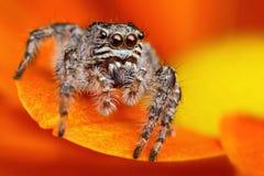 3 pająka skokowy indyk Fotografia Royalty Free