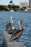 3 pelicanos Imagens de Stock