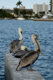 3 pelicans. Sitting on the pier in florida Stock Images