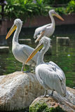 3 Pelicans resting. On rocks and logs in a lake @ the Singapore Jurong Bird Park royalty free stock image