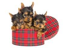 3 perritos lindos de Yorkie que se sientan dentro del rectángulo de regalo del tartán Foto de archivo