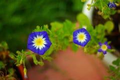 3 Petunias stock image