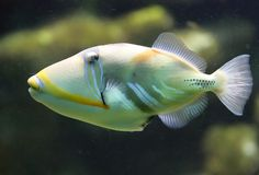 3 Picasso triggerfish Obrazy Royalty Free